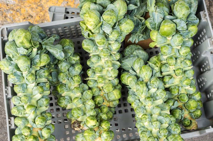 Brussels sprout stalks, full of fresh sprouts