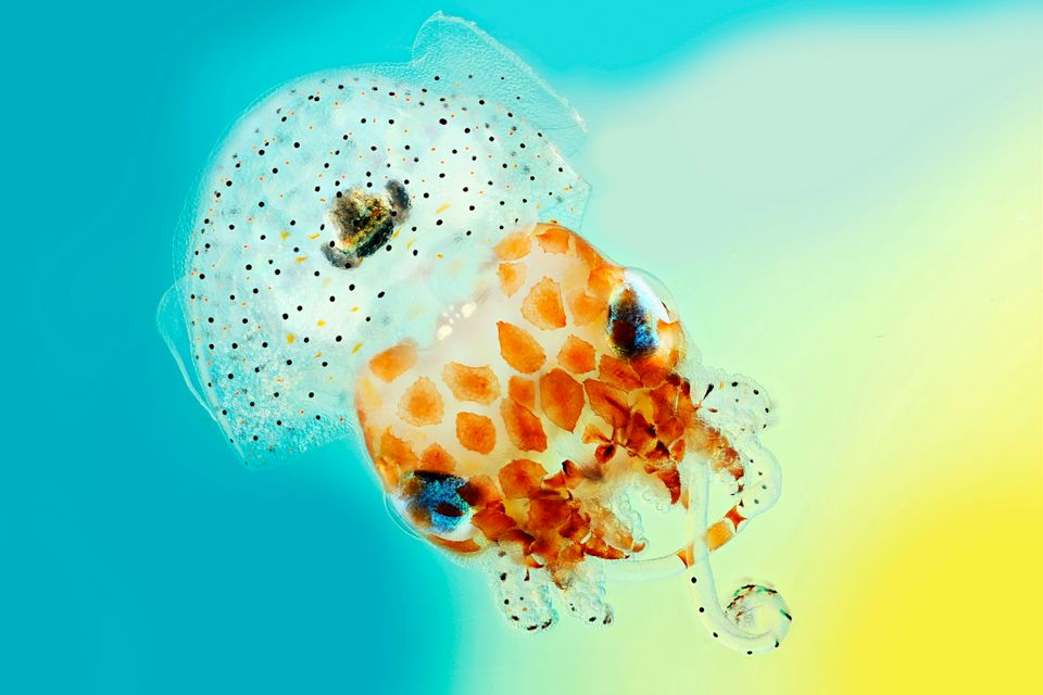 This image shows a baby Hawaiian bobtail squid. The black ink sac and light organ in the centre...