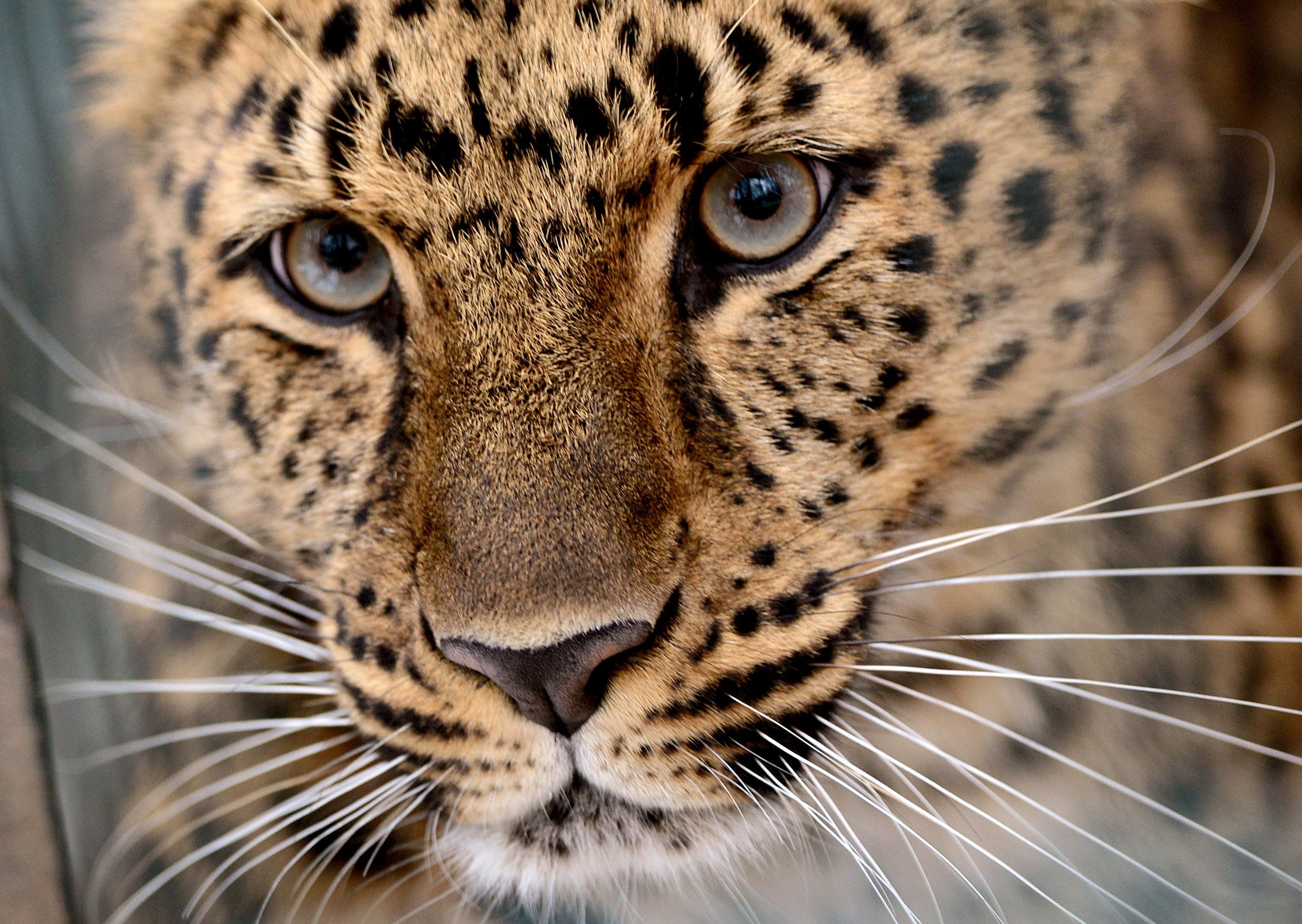 In Big Win For Big Cats, China Approves National Park Larger Than