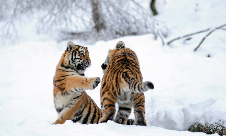 Amur tiger cubs play in the snow.