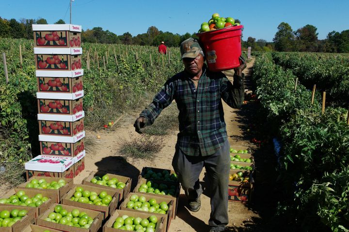 Instead of the usual 20-30 Mexican migrant farm workers on the Chandler Mountain, Alabama tomato farm, only four harvest