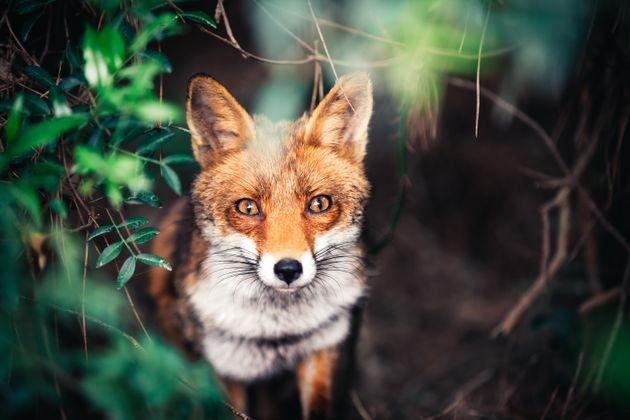 The Burns Inquiry estimated that hunts killed between 21,000 and 25,000 foxes every year before the