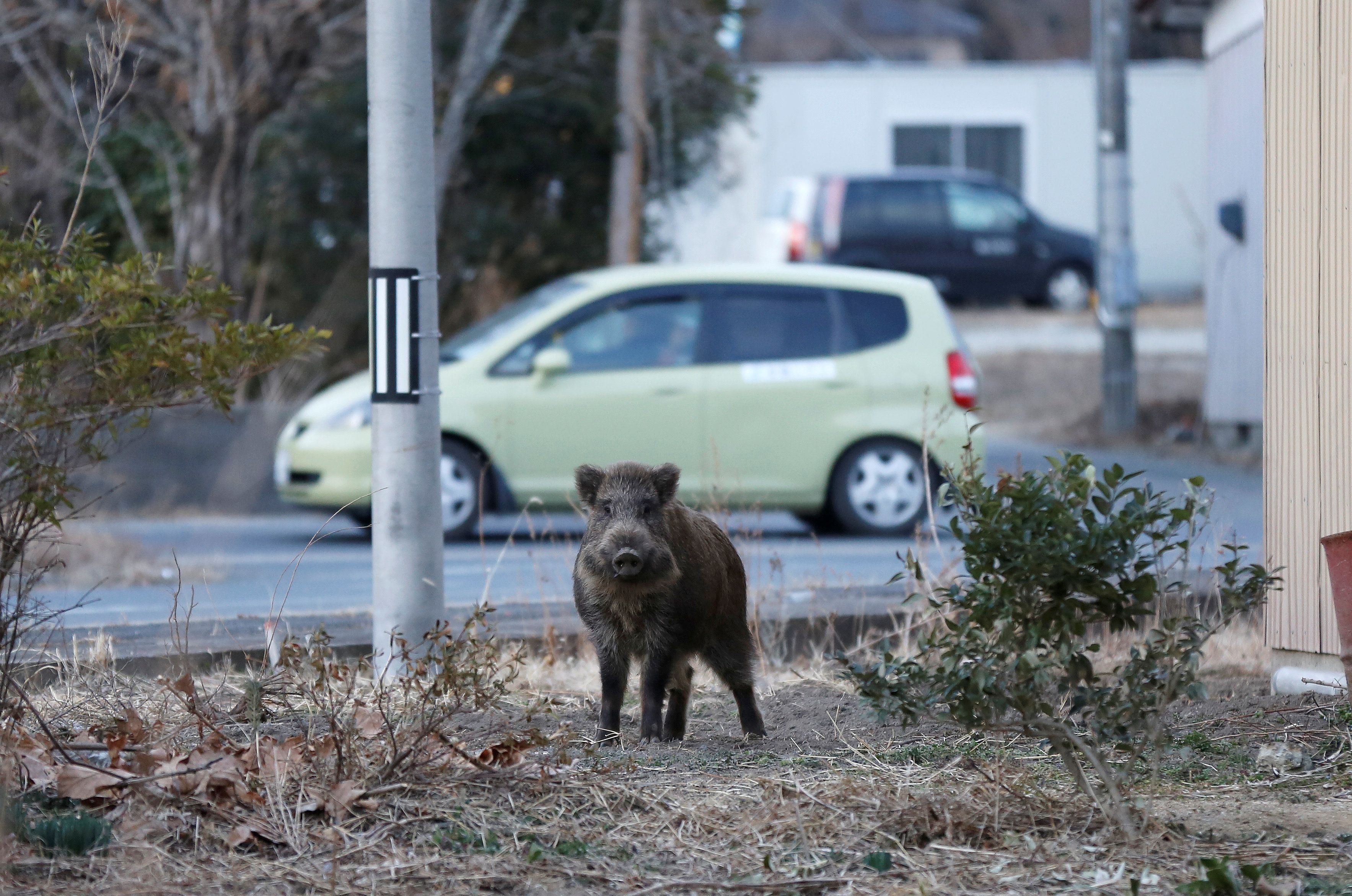 A wild boar is seen at a residential area in an evacuation zone near Tokyo Electric Power Co's (TEPCO) tsunami-crippled Fukushima Daiichi nuclear power plant in Namie town, Fukushima prefecture, Japan, March 1, 2017. Picture taken March 1, 2017.   REUTERS/Toru Hanai