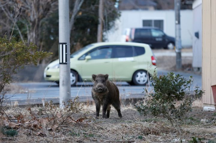 A wild boar in a residential area of an evacuation zone near the Fukushima Daiichi nuclear power plant.
