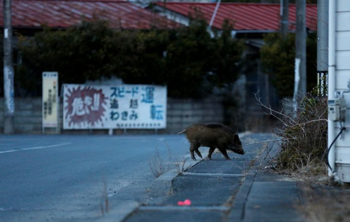 A wild boar walks on a street at a residential area in an evacuation zone near the Fukushima Daiichi nuclear power plant