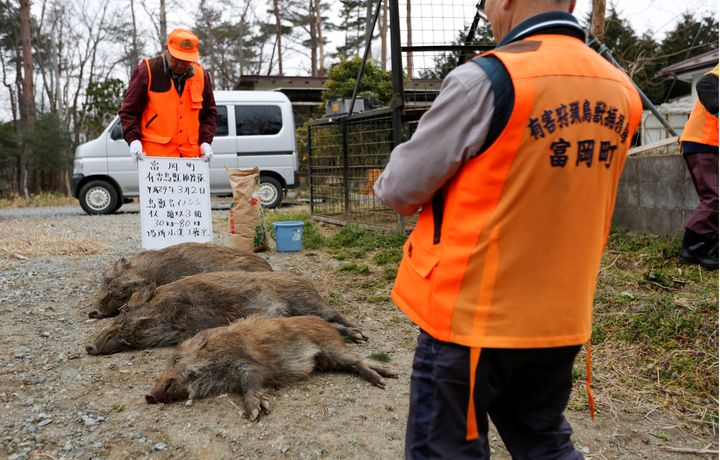 Roaming, Radioactive Boars Slow Return of Japan's Nuclear Refugees