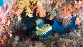 (GERMANY OUT) Yellow-ribbon Sweetlips between Soft Corals, Plectorhinchus polytaenia, Raja Ampat, West Papua, Indonesia   (Photo by Reinhard Dirscherl/ullstein bild via Getty Images)