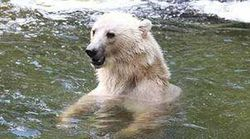 Escaped Female Polar-Brown Bear Shot Dead At German