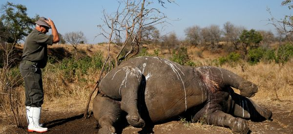 South Africa Pushes Forward On Plans To Legalize Rhino Horn Trade