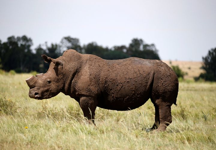 A dehorned rhino seen in South Africa.