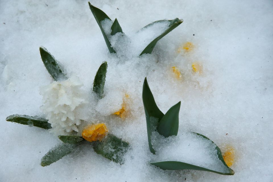 Ice coats daffodils in Washington, D.C. on March 14, 2017.