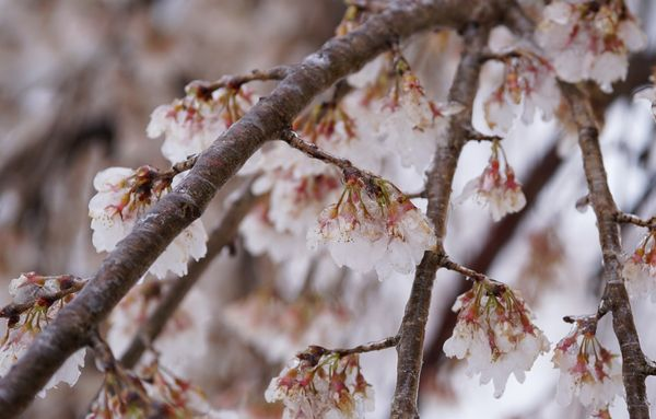 Ice-covered cherry blossoms near the Potomac River on March 14, 2017, in Washington, D.C.