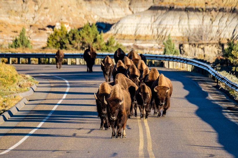 <em>A bison herd on Park Loop Road in the south unit of the park.</em>