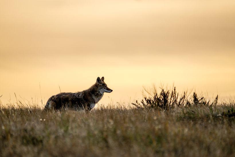 <em>A coyote scans the landscape at dusk.</em>