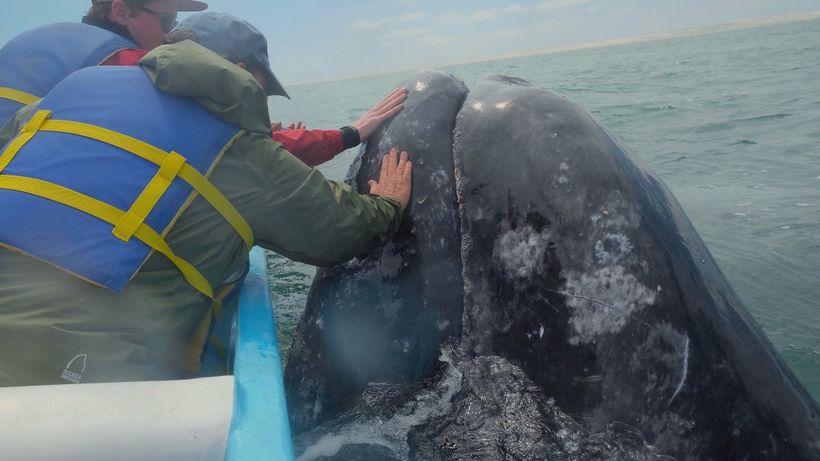 Petting a mama gray whale in San Ignacio Lagoon, Baja, Mexico