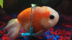 Adorable Goldfish Gets Special 'Wheelchair' To Help Him Swim
