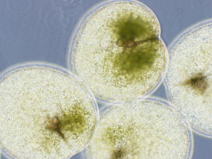 GreenNoctiluca blooms in the Arabian Sea and other locations.