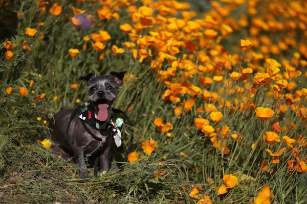 A dog stands in the bloom at Lake Elsinore.