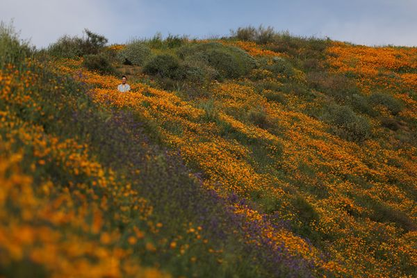 A man sits while looking at the massive wildflower bloom in in Lake Elsinore.