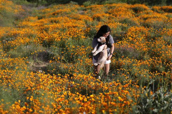 A woman and dog in a field of flowers in Lake Elsinore.