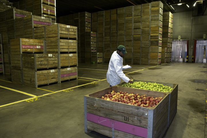 Checkingon apples in cold storage in South Africa