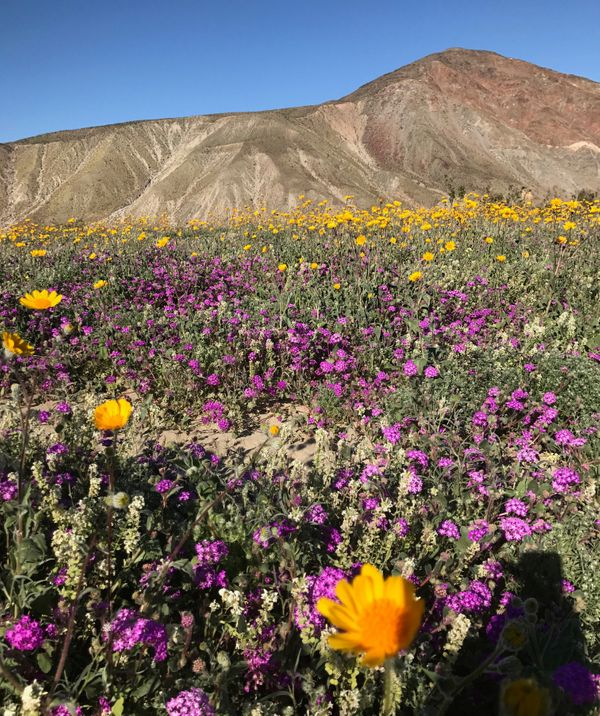 A massive spring wildflower bloom caused by a wet winter is seen in Anza-Borrego Desert State Park.