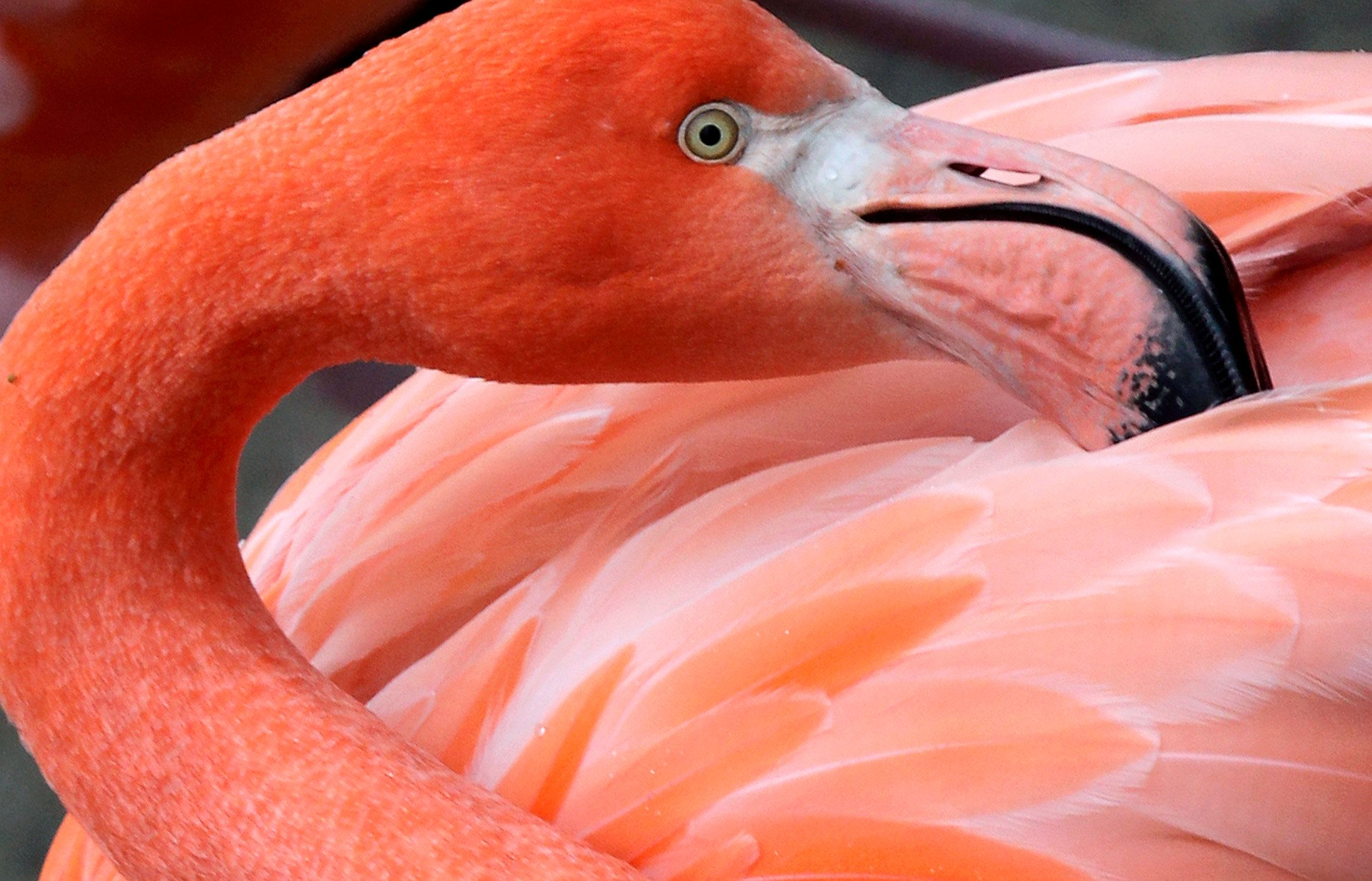 A flamingo turns its head in its enclosure at Hellabrunn Zoo in Munich December 23, 2009. REUTERS/Michael Dalder (GERMANY - Tags: ANIMALS)
