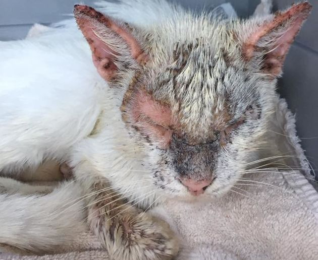 Cotton was in rough shape when a Florida resident found him wandering