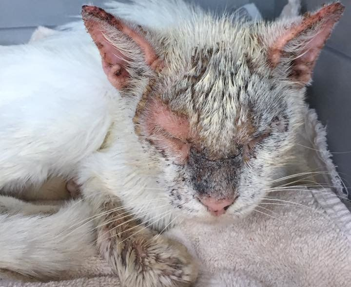 Cotton was in rough shape when a Florida resident found him wandering outside.