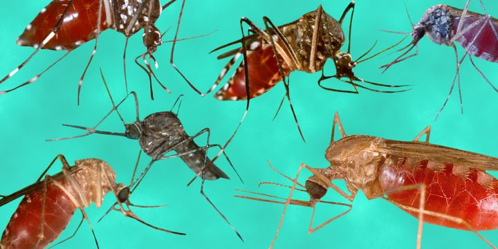 <p>What the mosquitoes that spread Zika and dengue look like </p>