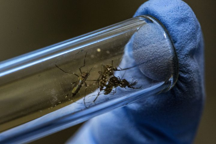 <p>A lab technician researching a cure for Zika displays mosquitos in a test tube at the Oswaldo Cruz Foundation in Rio de Janeiro </p>