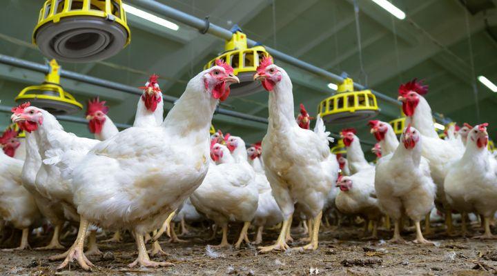 Bird Flu Hits Another Tyson Chicken Farm In Tennessee