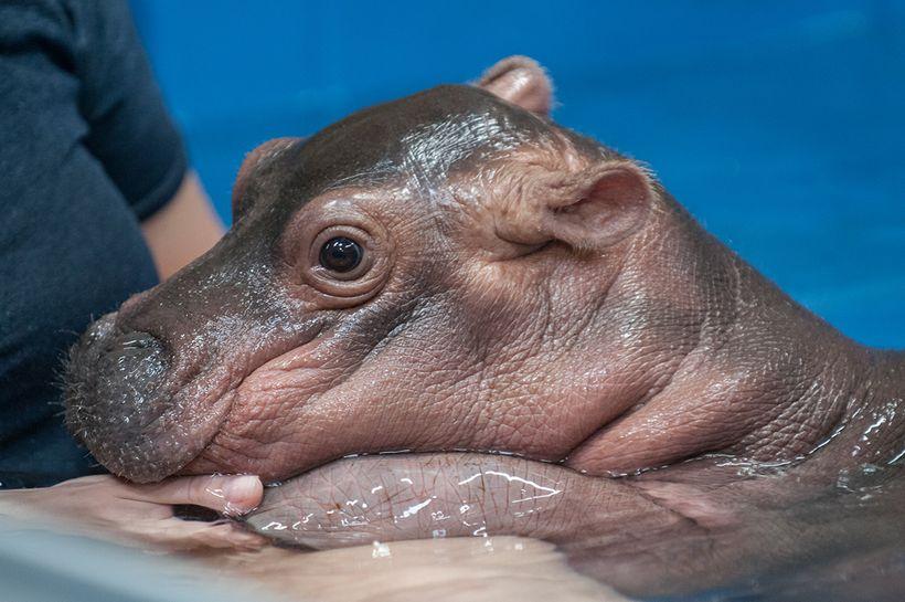 For Cincinnati Zoo S Baby Hippo Fiona Every Day Brings