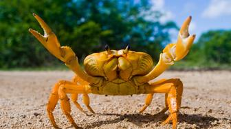 Yellow land crab. Cuba. Unusual pose.