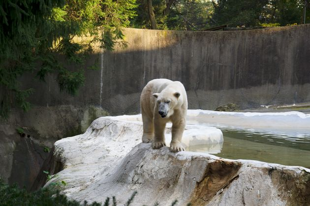 A polar bear at the Bronx Zoo. This photo did not make it into the final