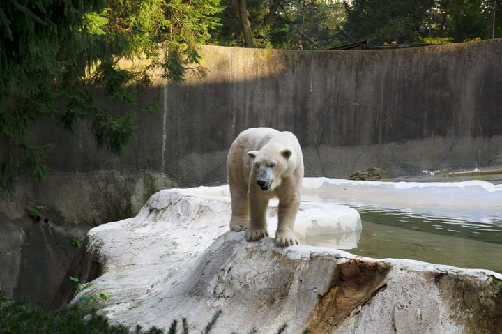 "A polar bear at the Bronx Zoo. This photo did not make it into the final ""White Bear"" series."