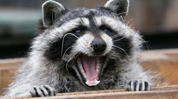 Zoo Sues Studio For Traumatising Raccoon Used In 'Erotic'