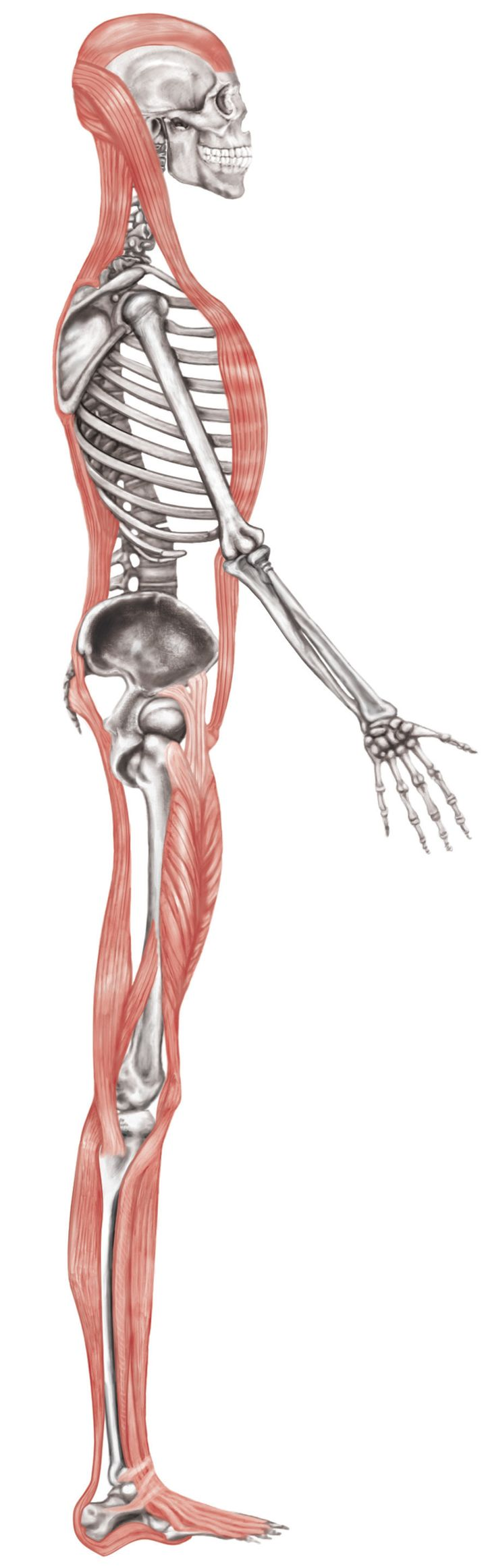 <p>Anterior and Posterior Muscle/Fascia pulleys should be even. Most people have short fronts and subsequently long backs which leads to hamstrings that feel 'tight' but in reality are 'long and tense'. </p>