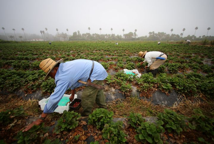 Farmworkers pick strawberries in the early morning fog on a farm in Rancho Santa Fe, California, on August 31, 2016. Many U.S