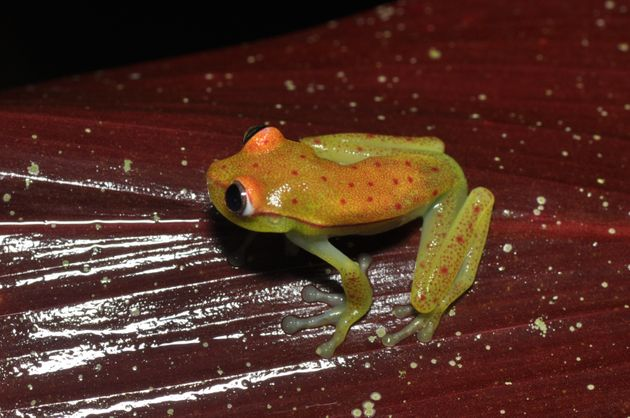 The polka dot tree frog inhabits the forest of the Amazon Basin of Ecuador, Peru, Bolivia and Brazil,...