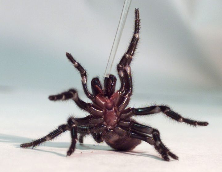 A Sydney funnel-web spider.