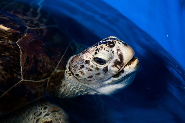 The sea turtle underwent a four-hour operation to remove the coins from her stomach after they had been tossed into her pool by tourists.