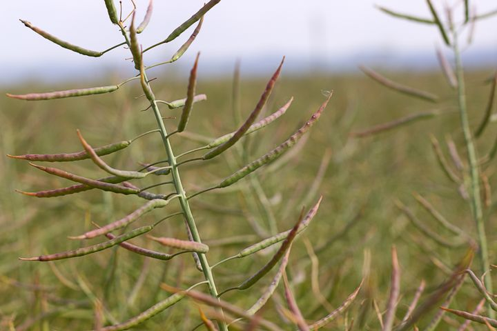 Pods of the canola plant.