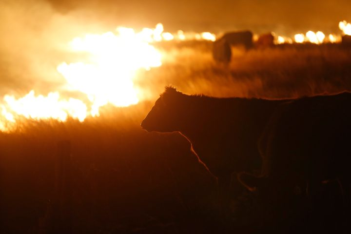 Cattle graze by a wildfire near Protection, Kansas, on March 7. Grass fires fanned by gusting winds forced the evacuations of