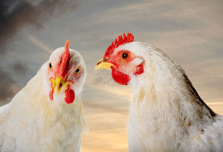 Burger King Says It Will Stop Serving Abused Chickens