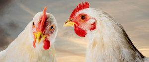 ANIMAL BIRD FEATHERED FLU GALLIFORMES AVIAN INFLUE