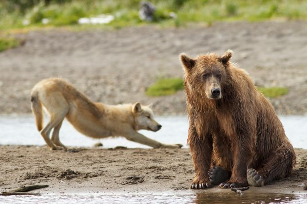 Grizzly bears and gray wolves are among the wildlife that could become hunting targets again on federal...