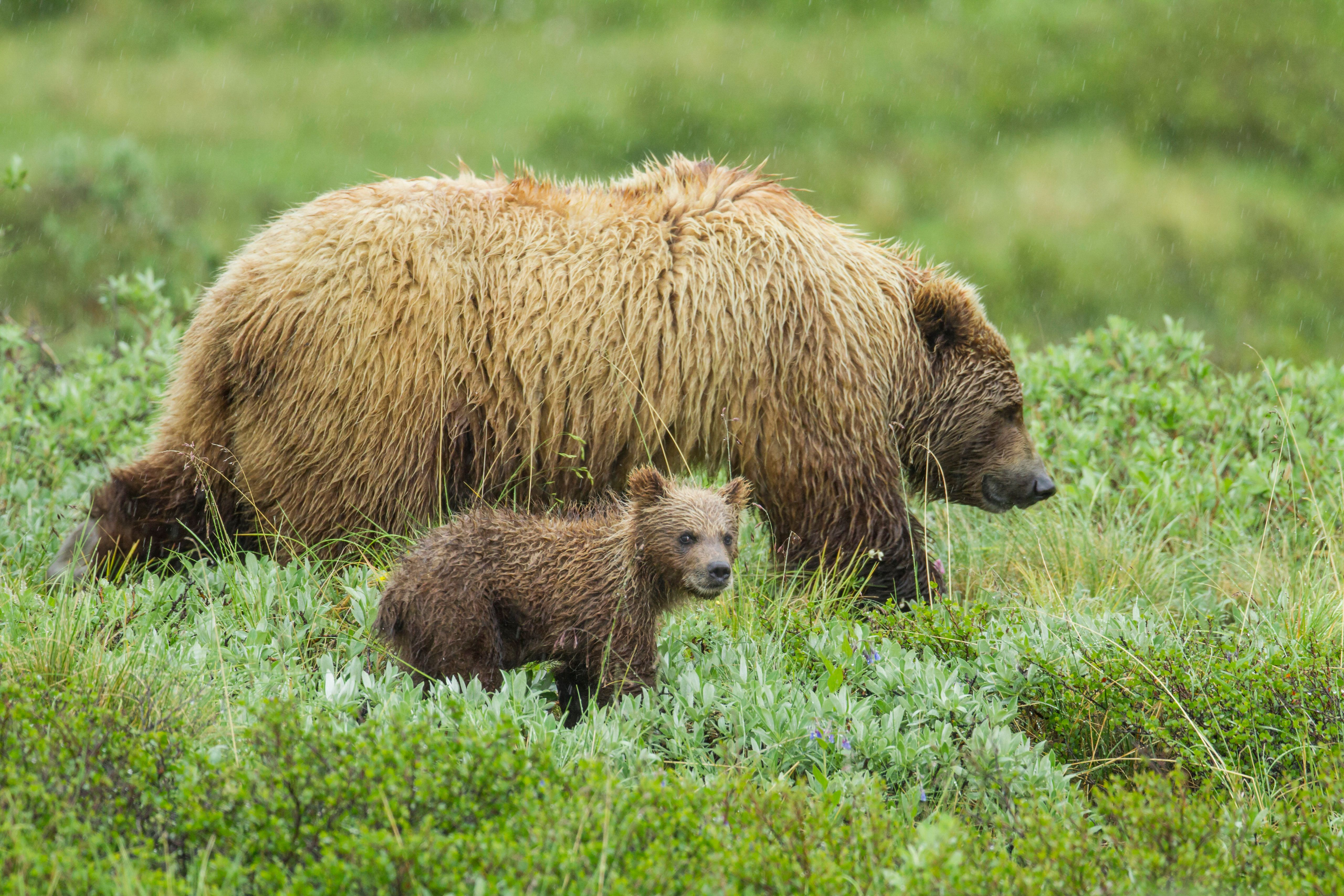 Portrait Of A Grizzly Bear Sow With A Spring Cub Walking On The Tunda In The Rain, In Denali National Park And Preserve, Interior Alaska, Summer