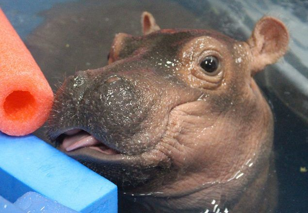 fiona cincinnati zoos premature baby hippo has captivated hundreds of thousands of people and has definitely taken the greater cincinnati area by storm - Pictures Of Hippos