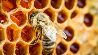 Bees in a beehive on honeycomb.